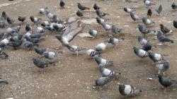 صبحانه کبوترها