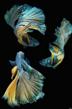 عکسهایی جالبی از ماهی جنگجو شبیه هستند به پرنسس هایی با لباسهای زیبا   ان الله جمیل و یحب الجمال...