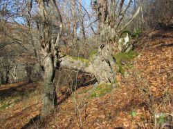 جنگل توسکستان/گلستان