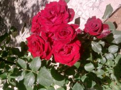 اگه قرار باشه این گل های زیبا رو که رنگ سرخ نمایانگر عشقه به کسی بدی اون کیه