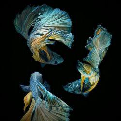 نمایی زیبا از ماهی فایتر