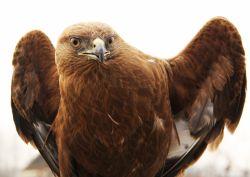 این عقاب همسرم از جنگلای شمال پیدا کرد