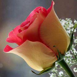 تقدیم به همه گلهای بازدید کننده