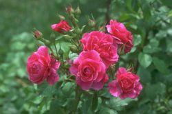ای عکس گل سرخ خیلی دوست دارم تقدیمش میکنم به همه دوستای گلم تو لنزور