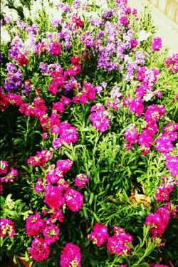 گلهای زیبا تقدیم به لنزوری ها (^_^)