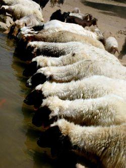 آب خوردن گوسفندان
