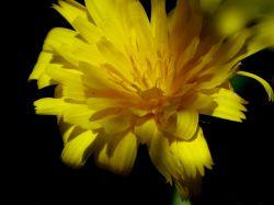 گل بهاری درطبیعت صالح آباد-ایلام