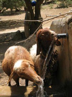 خوردن آب گوسفندان بعدازچرا منطقه دالاهو-ایلام
