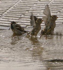 آب بازی گنجشکان