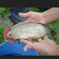 خروس ماهی