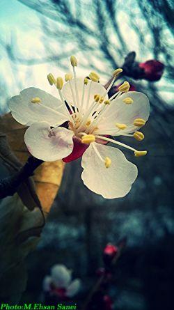 شکوفه درخت آلوچه ...