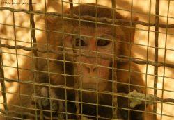 اندوه میمون اسیر