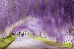 تونل گل اقاقیا در ژاپن مبتکر طرح: خوی118 http://www.khoy118.ir/
