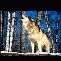 در غربت ما گرگهاهم افسردگی عمیق گرفته اند،به جای اینکه گوسفند بدزدند به نی چوپان گوش میدهندو گریه میکنند!چه بد دردیست تنهایی!!!