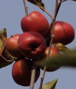 سیب،ایران درخت
