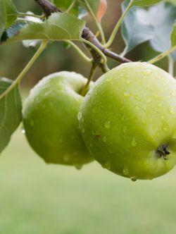 سیب سبز،سیب#نهالستان پارس#ایران درخت سابق