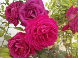 گلهای سرخ بسیار زیبا در بهار