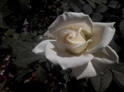 گل سفید بسیار زیبا