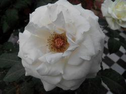 گل سفید :)