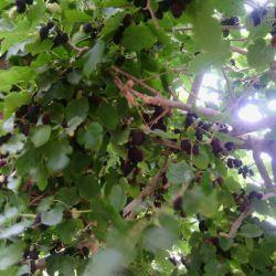 درخت توت خونمون