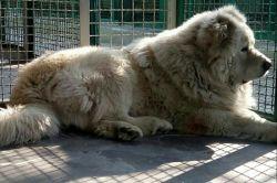 سگ زیبا و بزرگ