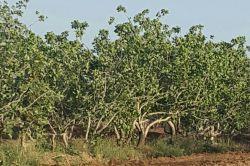 امسال درختان ثمر ندارند