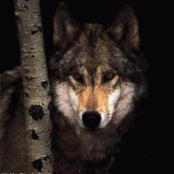 زندگی را باید از گرگ اموخت و بس ,گرگ با همنوعانش شکار میکند خو میگیرد زندگی میکند ...ولی چنان به انان بی اعتماد است که شب هنگام خواب بایک چشم میخوابد  شاید گرگ معنی رفاقت را خوب درک کرده است.......