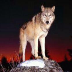 """به سلامتی      """"گرگی"""" که فهمید چوپان خواب است اما زوزه اش را کشید تا از پشت خنجر نزند ...!.!"""