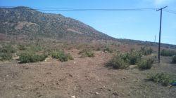 نسل کشی درختان بلوط