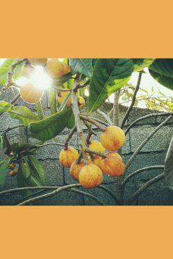 ازگیل باغ فوق العاده خوشمزه و شیرین
