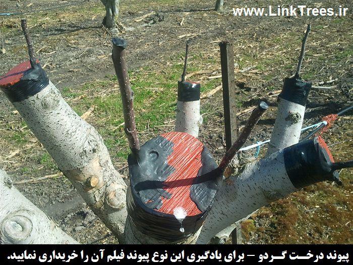 » انواع پیوند های گردو » آموزش پیوند زدن درختان میوه آجیلی خ
