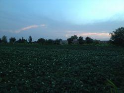 #مزرعه سیب زمینی