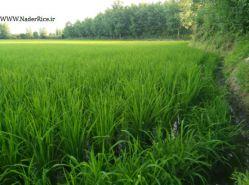 تصویری از برنج منظقه سیاه درویشان گیلان-مرحله داشت-برنج نادر