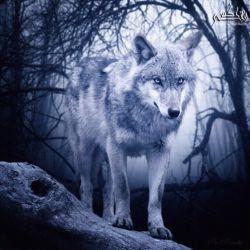 """سگ نگاه خنده داری به گرگ کرد و گفت،،،  آهویت را ربودم،،، آیا باز هم میگویی گرگها برترند؟؟؟ تواگرعرضه داشتی آهویت را حفظ میکردی...!!! گرگ،لبخندی زدو گفت،،، من ( خداى ) غرورم رقیب ببینم نمیجنگم ... پا رویه عشقو احساسم میگذارم ومیدان راخالى میکنم آهویی که به سگ چشمک بزند!!!  لیاقت ندارد زیر سایه (( گرگ )) زندگى کند  """"حقش آن است  خوراک همان سگ شود""""          """"حقش آن است  خوراك همان سگ شود"""""""